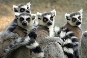 Makakit Madagaskarissa