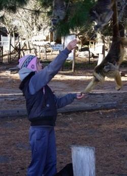 Rehabilitering av apor